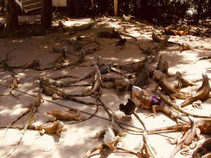 Iguana Farm (Roatan, Honduras) | Cosa vedere a Roatan in Honduras