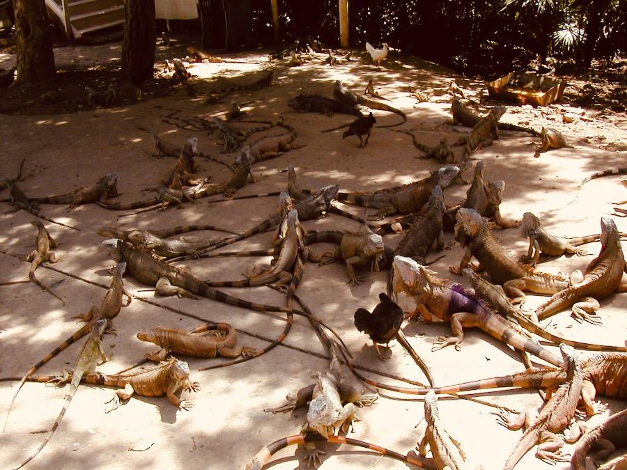 isola di roatan honduras: The Arch's Iguana & Marine Park