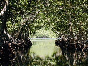 Oak Ridge Mangrovie (Roatan, Honduras)   Cosa vedere a Roatan in Honduras