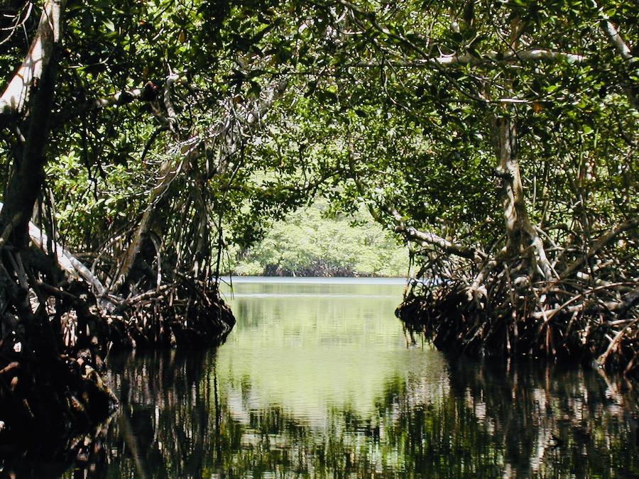 roatan honduras: mangrovie