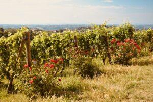 Vigne - Costigliole D'Asti   Langhe e Monferrato